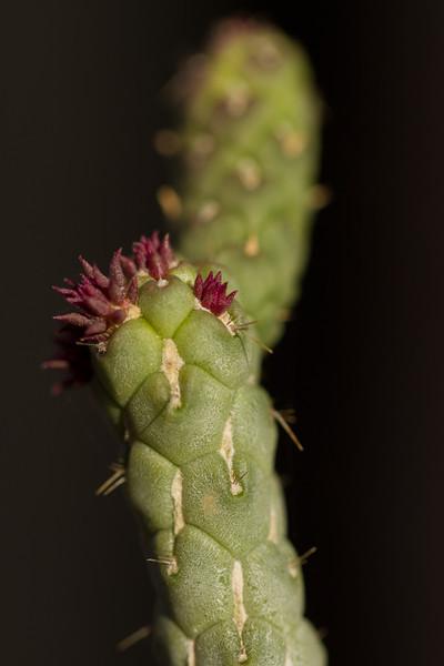 New growth on a cactus arm - pretty tiny.