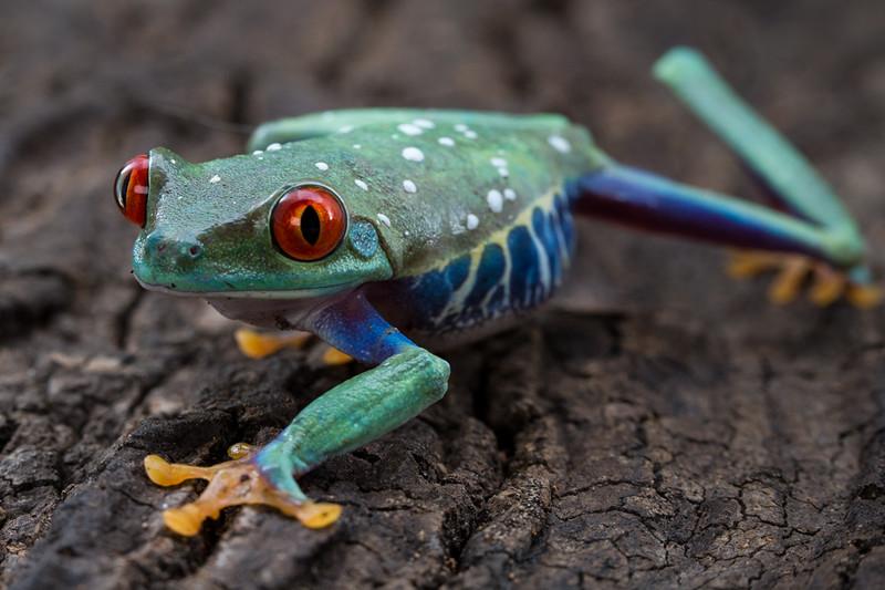 A Red Eyed Tree Frog moves toward the camera across a tree.