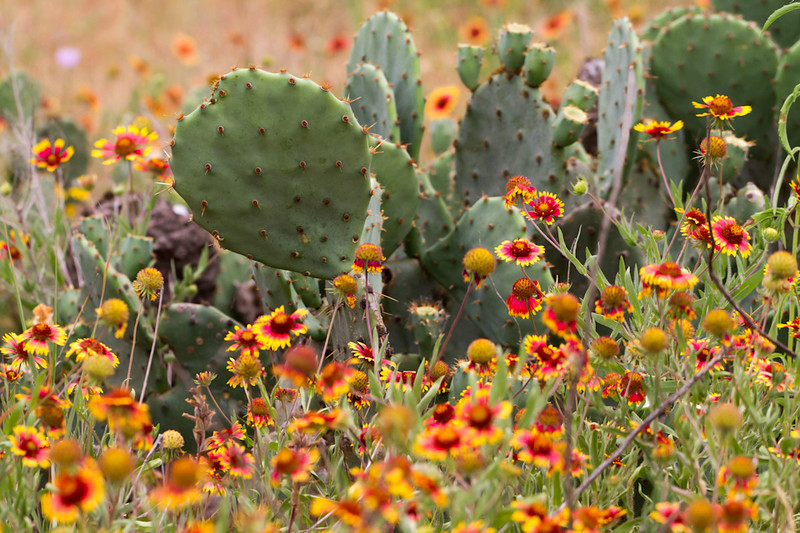 The wildflowers grow inside the prickly pear cactus on the Texas hill country.