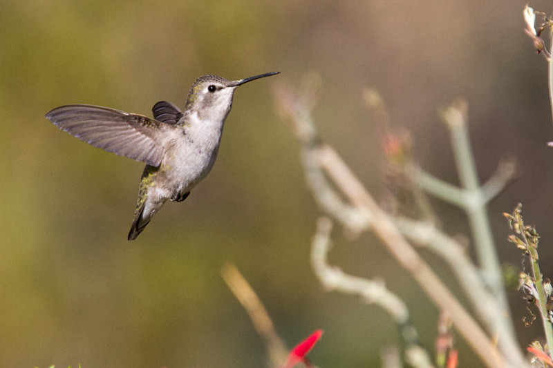 Hard to catch the little hummingbird when it is not hovering at a flower.  Just lucky with this shot.