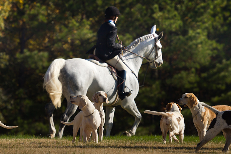 Managing the pack of hunting dogs during a demonstration prior to the Columbus Steeplechase.
