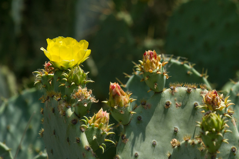 The yellow flower of the Prickly Pear cactus at the Balcones Canyonlands National Wildlife Refuge.