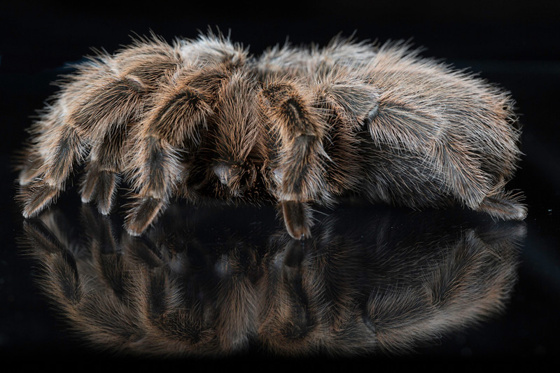 A tarantula on a glass - so pretty with all of it's hair