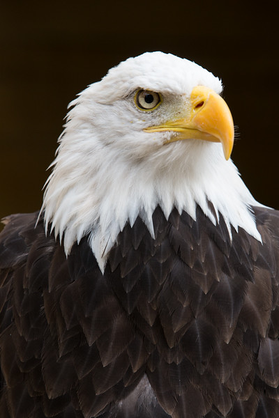 A Bald Eagle in the Cotswold Falconry, England