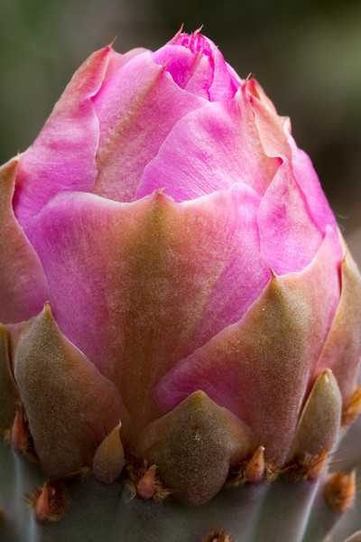 Ok - it looks pink - remarkably the buds are pink and the flowers are yellow for the Prickly Pear cactus.