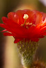 A very red flower on top of a delicate cactus arm.