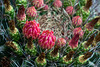 A ring of red buds on top of a very small barrel cactus