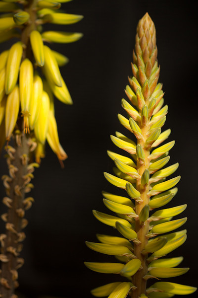 A stalk on a yucca in the morning light