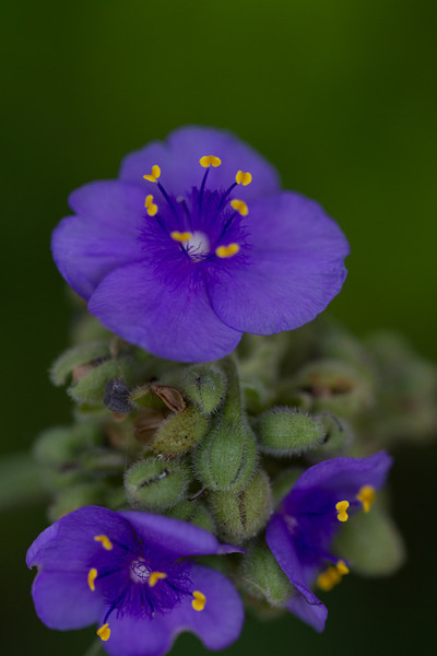 So cool that this very purple flower has little yellow stamens - nice contrast to attract bugs