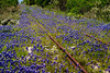 Blue Bonnets run along an old railroad track