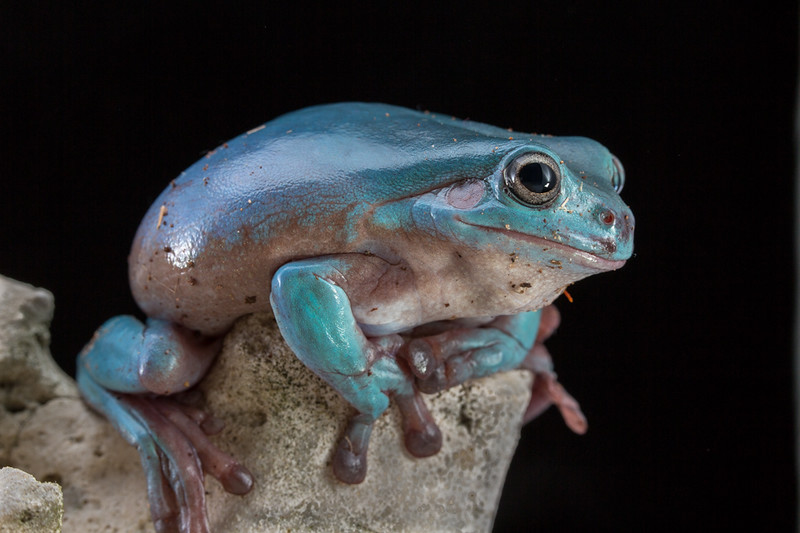 A White's Tree Frog considers moving out of view of the pesky photographer.  He jumped moments after the picture.