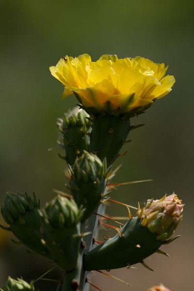 A Prickly Pear flower and several buds