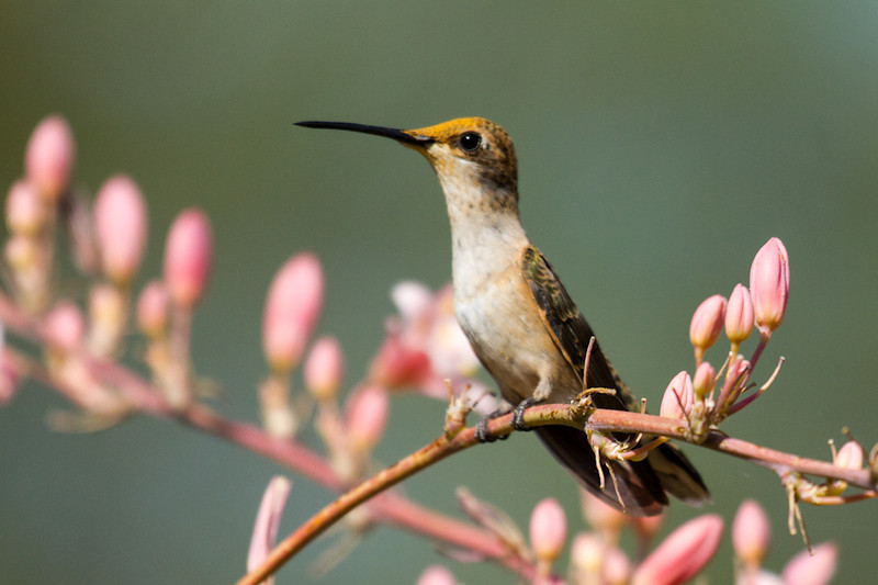 A Rufous Hummingbird (I think) sits in a bush in between feeding.