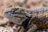 A Desert Spiny lizard up close - he was not moving very fast and 400mm got me pretty close.