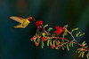 An Anna's Hummingbird dining on a flower