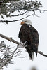 A Bald Eagle looks over its shoulder at me - well there were a few of us.  I was on a snowcat tour of Yellowstone Park and we spotted the eagle looking over the Madison River.  It was snowing so his wings are flecked in snow.