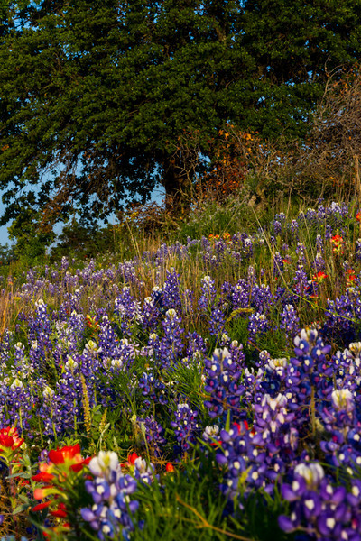 The wildflowers are in full bloom in April along Texas roads