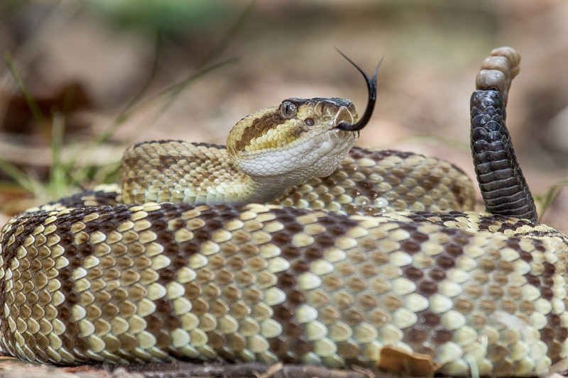 A rattlesnake up close in the Arizona forest