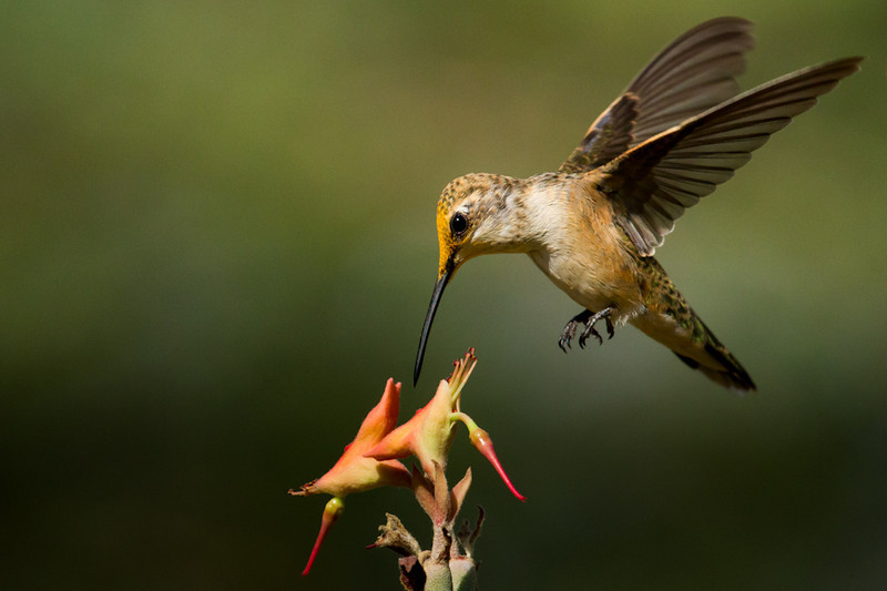 A Rufous Hummingbird zooms in on a flower