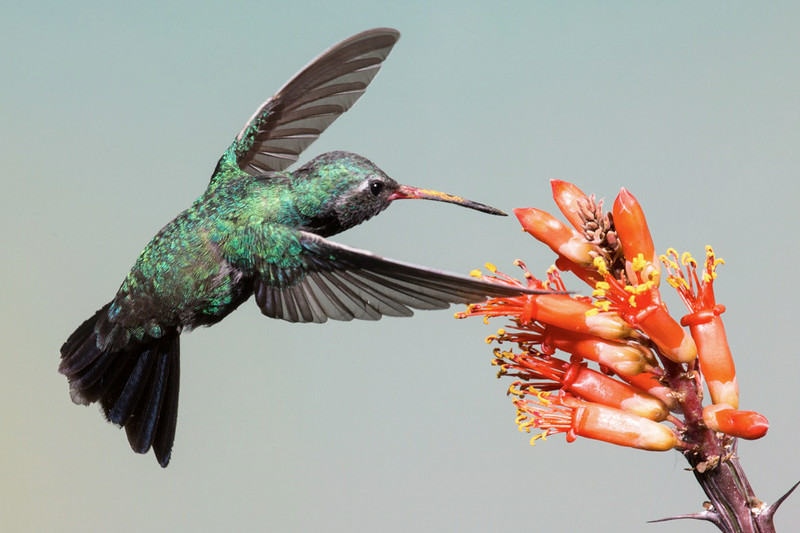 A Broad Billed Hummingbird circling for the right angle into a Ocotillo bud in the southern AZ mountains.