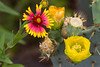 A wild flower blooms near a Prickly Pear cactus