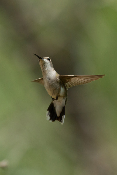 A Black-chinned Hummingbird female - i think - caught in the air.