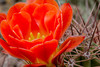 An Orange Hedgehog Cactus in bloom - it is hard to go more than three feet in the Phoenix Botanical Garden because there were so many pretty cactus flowers which required me to stop and photograph.