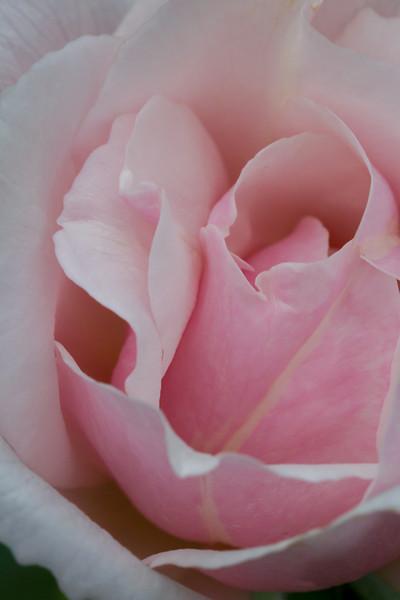 A lonely rose in the rose garden of Zilker Botanical Garden.  Not too many buds left.