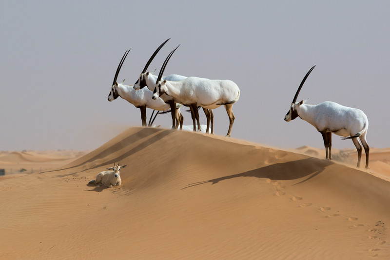 Several adult Arabian Oryx on a dune standing watch over a new little Oryx.