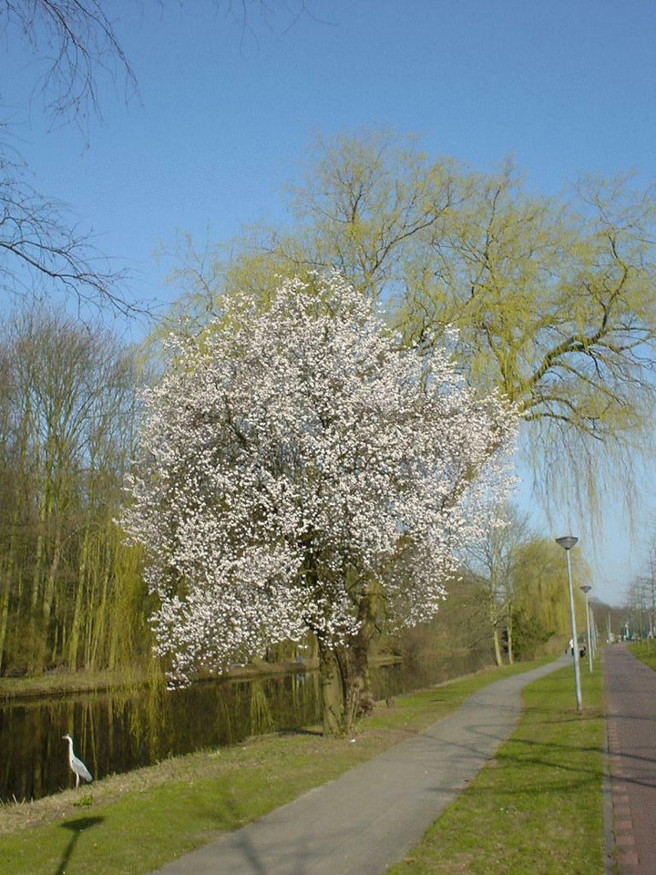 Spring is definitely here... Park near Rijswijk, on my way to work at 9am (April 2003)