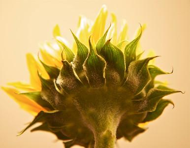 Sunflower, March 2015.
