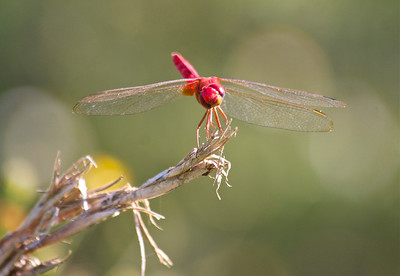 Dragonfly, Long Key Natural Area and Nature Center, Davie, Fla., October 2014.