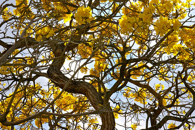 A Golden Trumpet Tree in full bloom, Pembroke Pines, Fla., March 2015.