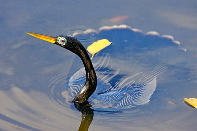 Anhinga, Wakodahatchee Wetlands, Delray Beach, Fla., March 9, 2014.