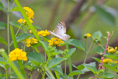 White Peacock Butterfly, Chapel Trail Nature Preserve, Davie, Fla., July 2014.