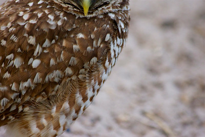 Burrowing Owl, Pembroke Pines, Florida. May 13, 2014
