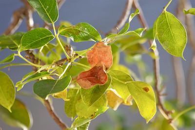 Leaves, Gumbo Limbo Tree, Pembroke Pines, Fla., December 2014.