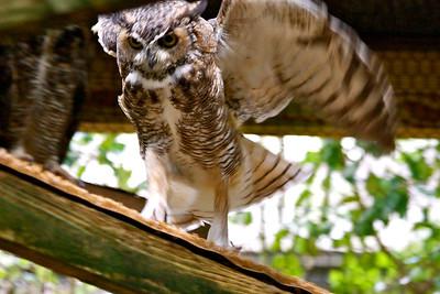 A Great Horned Owl, Flamingo Gardens, Davie, Fla., September 2014.