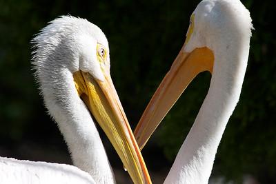 Pelicans, Flamingo Gardens, Davie, Fla., September 2014.