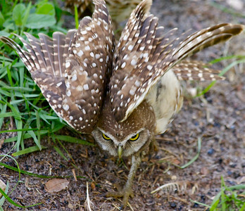 """Look at my wings."" Burrowing Owls, Piccolo Park, Pembroke Pines, Fla., July 2014."