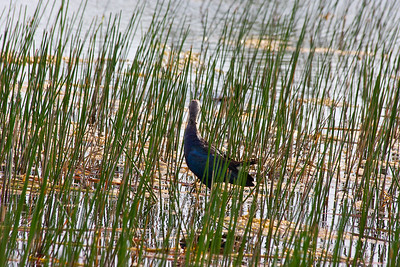 Swamphen, Chapel Trail Nature Preserve, June 2014.