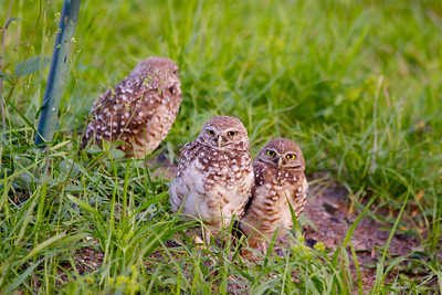 Burrowing Owls on a summer evening, Pembroke Pines, Fla., July 2014.