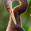 Anhinga, Green Cay Wetlands, Boynton Beach, Fla., October 2014.