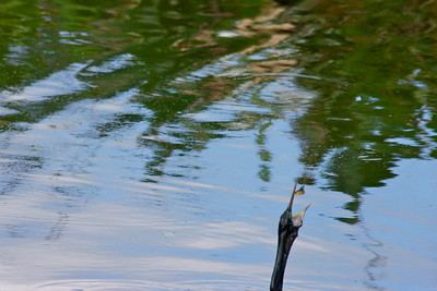 An anhinga is about to enjoy its lunch. . Wakodahatchee Wetlands, Delray Beach, Fla., March 9, 2014.