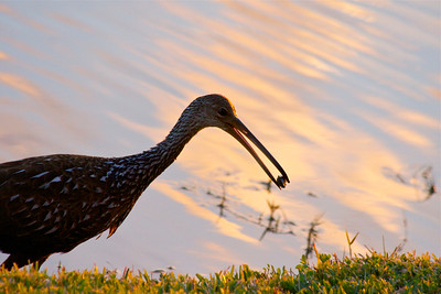 A limpkin carries his snail so he can eat dinner, Pembroke Pines, Fla., December 2014.