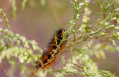 Caterpillar, Long Key Natural Area & Nature Center, Davie, Fla., November 2014.