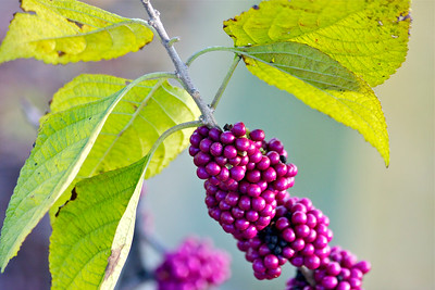 Beautyberries, Long Key Natural Area & Nature Center, Davie, Fla., November 2014.