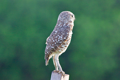 """It's lonely at the top."" Burrowing Owl, Tree Tops Park, Davie, Fla., August 2014."