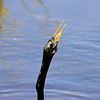 An anhinga swallows a fish. Wakodahatchee Wetlands, Delray Beach, Fla., March 9, 2014.