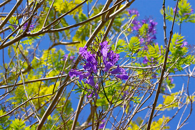 Jacaranda Tree, Fairchild Tropical Botanic Garden, Miami, March 2015.